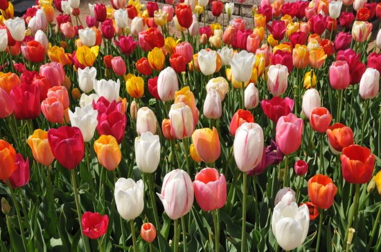 Muskogee, OK: Tulips