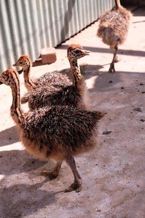 Highgate Ostrich Show Farm: Baby Strausse