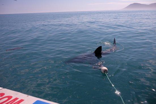 Kleinbaai, Sør-Afrika: Hai