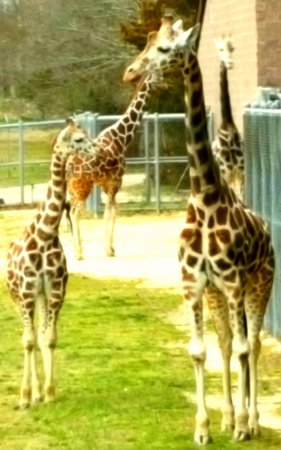 Cape May Court House, NJ: Giraffe Family knew it was time for dinner!
