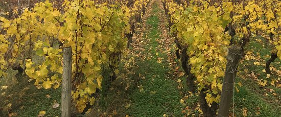 Rendez-vous au Chateau : After harvest the vines are beautiful with autumn colors. At Chateau Rabaud Promis in Sauternes