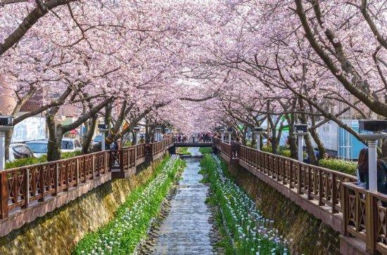 Jinhae Cherry Blossom Festival Tour: Yeojwacheon, Gyeonghwa