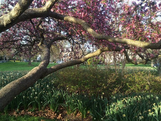 Sherwood Gardens: Cherry Blossoms in the Garden (past years)