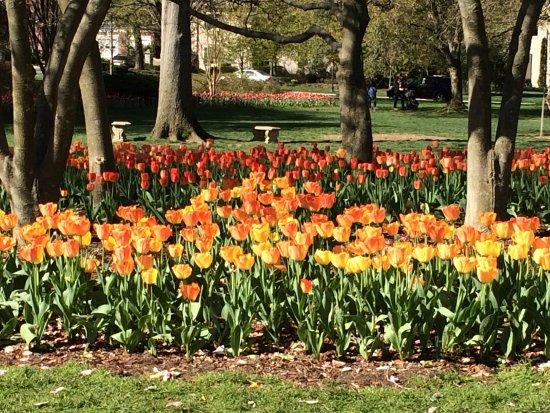 Sherwood Gardens: Tulips in the Garden (past years)