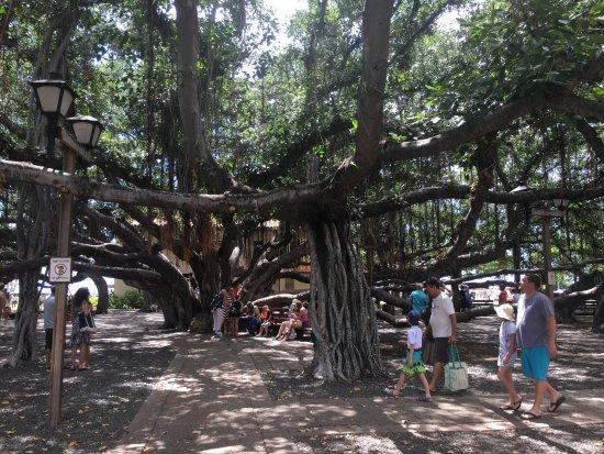 Banyan Tree, Front Street, Lahaina, Maui, HI - Picture of ...