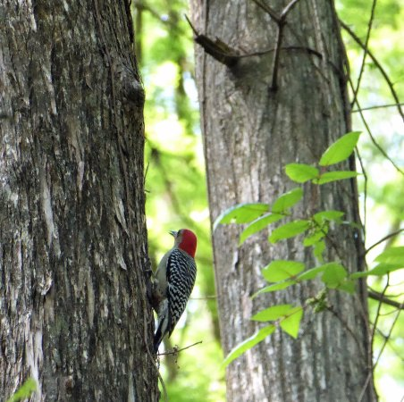 Sebring, FL: Red-bellied woodpecker