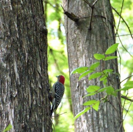 Sebring, Флорида: Red-bellied woodpecker