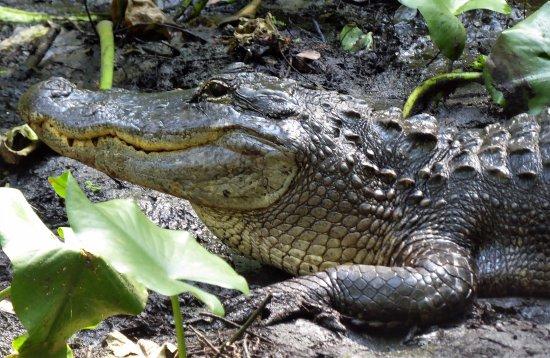 Sebring, Φλόριντα: One of many alligators