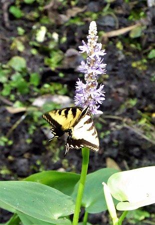 Sebring, FL: Butterfly