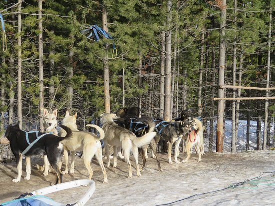 Ennis, Μοντάνα: Dogs prior to sledding set up