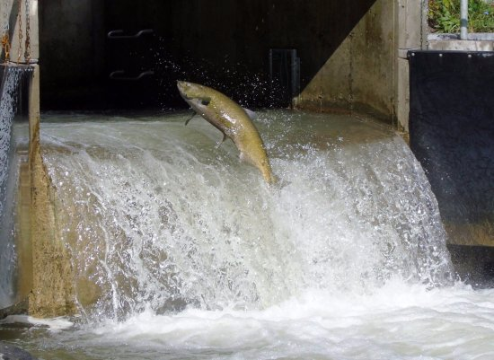 Bowmanville Creek Fish Ladder