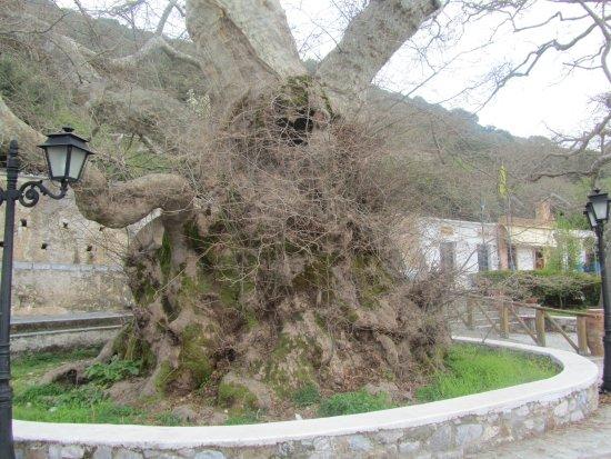 Safari Club Crete: The 2000 year old tree