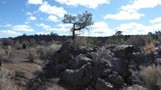 El Malpais National Monument: Tough tree