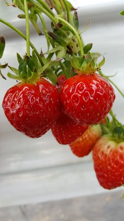 Yangsu-ri Strawberry Farm Experience