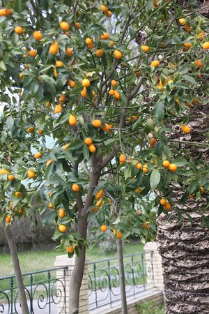 Mavromatis Koum Quat Tree With Ripe Fruit