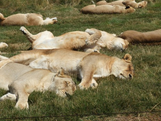 sleeping group of lions picture of lionsrock big cat sanctuary