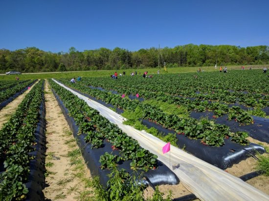 Loganville, GA: Washington Strawberry Farm