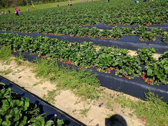 Loganville, GA: Washington Strawberry Farm