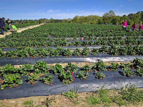 Loganville, Geórgia: Washington Strawberry Farm