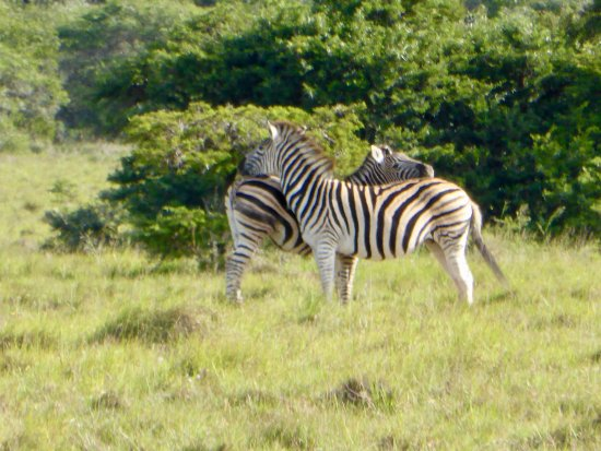 Amakhala Game Reserve, África do Sul: Amazing game viewing