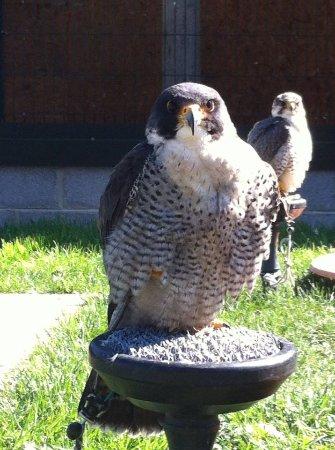 Блессингтон, Ирландия: Peregrine Falcon