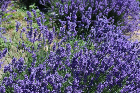 Naramata, Canadá: Lavender loves Forgotten Hill and is everywhere in late spring.