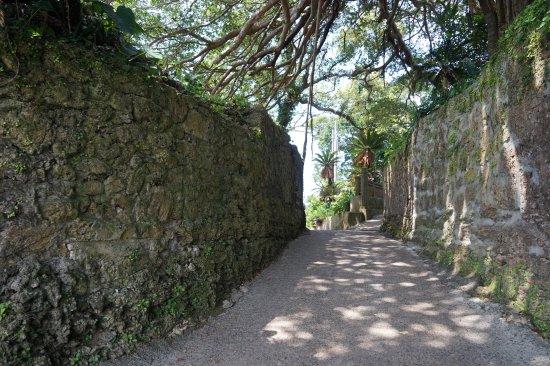 300 Years Old Tree Gajumaru