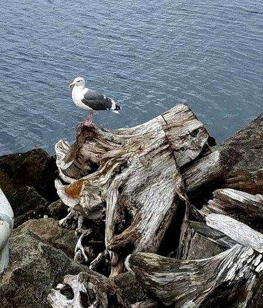 Tillamook, OR: Friendly seagull