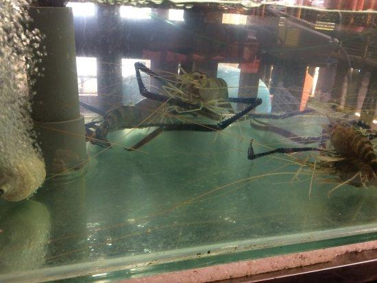 Muara Tebas Seafood Restaurant : Giant prawns in tank