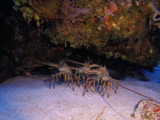 Lobster trio on Southside of Little Cayman
