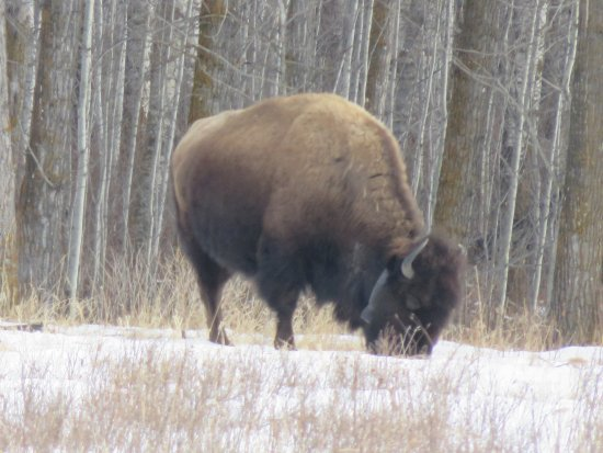 Elk Island National Park: A bison seen from our vehicle on the Bison Loop