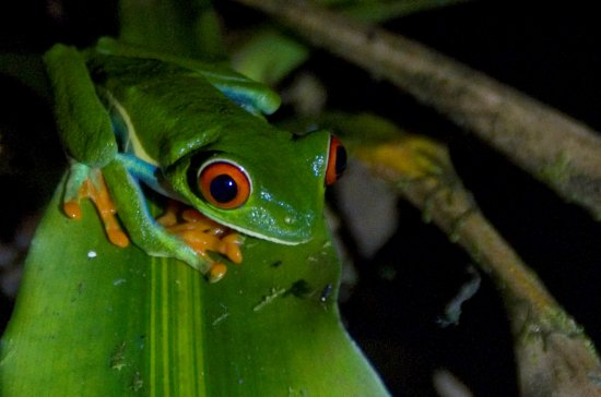 Villa Blanca Cloud Forest Hotel and Nature Reserve: A night hiking tour introduced us to a Red-eyed Tree Frog.