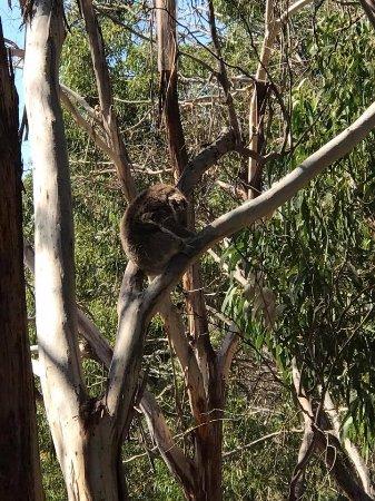 Cowes, ออสเตรเลีย: Koala