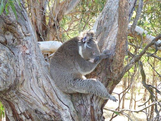 Cowes, Australia: Cute sleeping koalas
