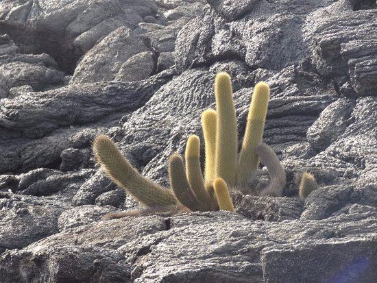 Fernandina, Ecuador: Cactus growing within the volcanic rocks.