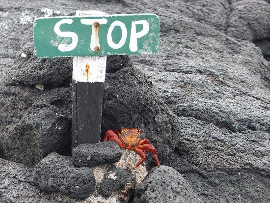 Fernandina, Ecuador: Stop for Sally crabs.