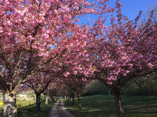 Cellettes, France: L'allée des Cerisiers du Japon Kazan en fleurs cette semaine.  C'est maintenant !