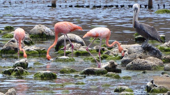 Washington-Slagbaai National Park, Bonaire: Flamingos at Boco Slagbaai