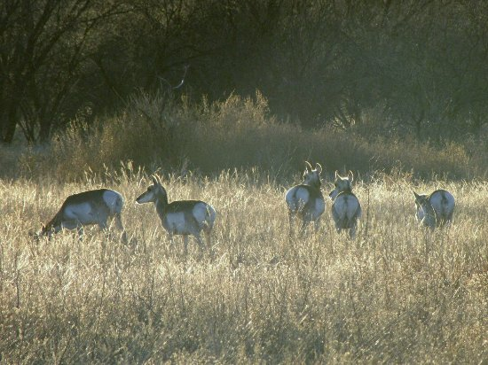 Arivaca, AZ: Pronghorn antelope