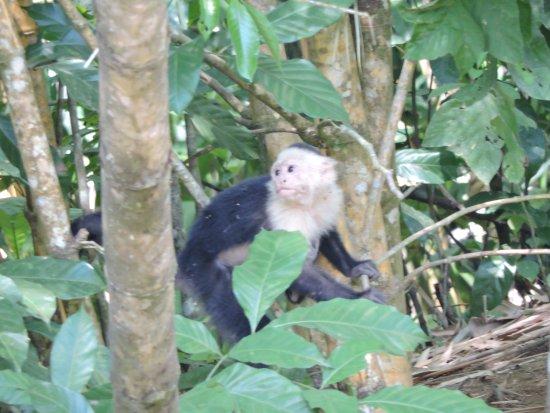 Sierpe, Costa Rica: capuchin