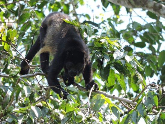 Sierpe, Κόστα Ρίκα: howler monkey
