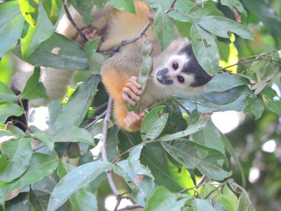 Sierpe, Κόστα Ρίκα: squirrel monkey