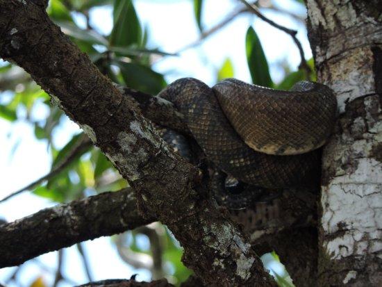 Sierpe, Κόστα Ρίκα: boa
