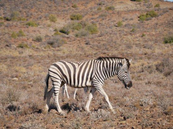 Sanbona Wildlife Reserve - Tilney Manor, Dwyka Tented Lodge, Gondwana Lodge: Zebra