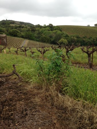 Kenwood, CA: Old Vine Zin