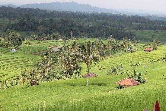 Noosa Bali Tours : Jatiluwih the largest rice paddy terraces in Bali.