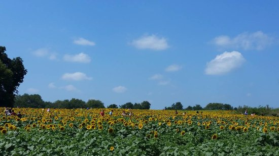 Lawrence, KS: Fields and fields of sunflowers!