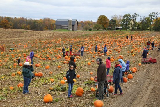 Scottsville, นิวยอร์ก: Acres of pick your own pumpkins!