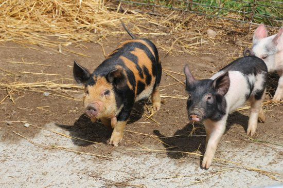 Scottsville, Nova York: Pig, pigs and more baby pigs....