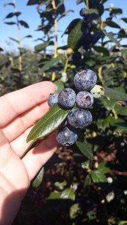 Ocoee, FL: Primadonna blueberries